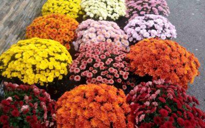 Des fleurs d'or pour la Toussaint